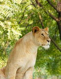 Lioness. Shot at indore zoo, Mp INDIA Stock Photo