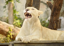 Lioness showing fangs Royalty Free Stock Photo
