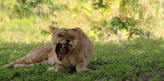 Lioness showing her tongue yawning Royalty Free Stock Images