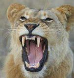 Lioness showing teeth. Lioness growl and showing her teeth Royalty Free Stock Photo