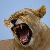 Lioness showing teeth Stock Photography