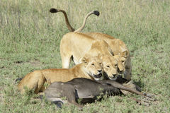 Lioness sisters with prey. Three Lionesses (Panthera leo) with a just caught wildebeest (Connochaetes taurinus), Serengeti national park, Tanzania royalty free stock photography