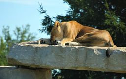 The Lazy Lion stock photography