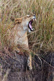 Lioness sitting on the edge of the ravine and yawn. S, Masai Mara Game Reserve, Kenya Royalty Free Stock Photography