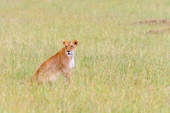 Lioness sitting in the grass Stock Images