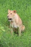 Lioness sitting on its hind quarters Royalty Free Stock Images