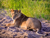 Lioness sitting Stock Photography