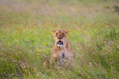 Lioness sitting in the savannah. Of Nairobi Park in Kenya in Africa royalty free stock photo