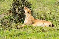 Lioness sitting in the savannah of Nairobi royalty free stock photos