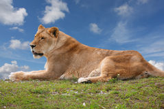 Lioness sitting on top of a hill Royalty Free Stock Image