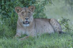 Lioness, sitting under tree stock photography