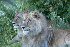 Lioness, sitting up looking left stock photography