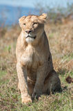 Lioness Sitting Royalty Free Stock Photos