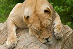 Lioness Sleeping Royalty Free Stock Photography