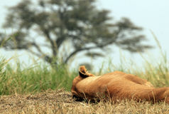 Lioness Sleeping Stock Images