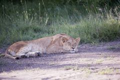 Lioness sleeping in afternoon sun on rock royalty free stock images