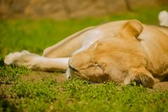 Lioness sleeping close up view, laying on the ground.  royalty free stock photography