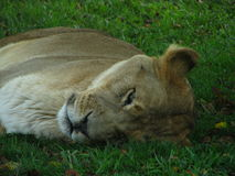 Lioness sleeping on the grass, peacefully during the safari tour. Royalty Free Stock Photography