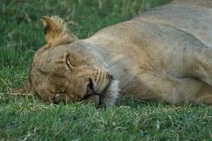 Lioness sleeping in the grass. This is the position of a fully relaxed lion, not thinking a minute that there might be some danger around Stock Photos