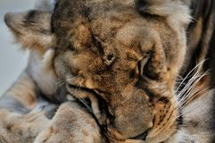 Lioness. Sleeping in the London zoo Royalty Free Stock Photography