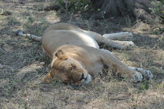 The lioness sleeping Stock Photography