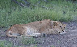 Lioness sleeping on rock, facing right royalty free stock image