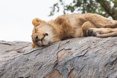 Lioness sleeping on the rock Royalty Free Stock Images