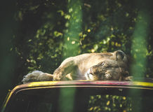 Lioness sleeping Royalty Free Stock Photos