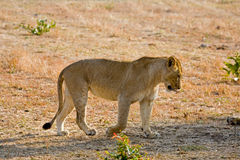 Lioness slowly walking. A lioness walking slowly in the bush royalty free stock photography