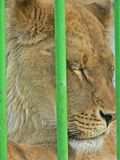 Lioness in small cage. Prisonner. Animal abuse. Stock Photography