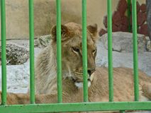 Lioness in small cage. Prisonner. Animal abuse. Lioness in small green cage. Prisonner. Animal abuse Stock Photography