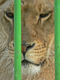 Lioness in small cage. Prisonner. Animal abuse. Lioness in small green cage. Prisonner. Animal abuse stock photo