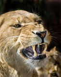 Lioness snarling Stock Photography