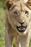 Lioness snarling at camera Stock Photos