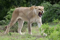 Lioness Snarling Royalty Free Stock Photos