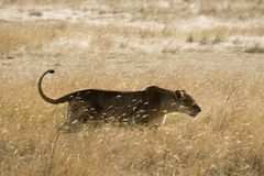 Lioness sneaking Royalty Free Stock Photo