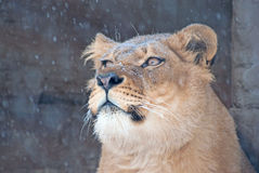 Lioness in the snow Stock Image