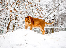 Lioness In The Snow Royalty Free Stock Photography