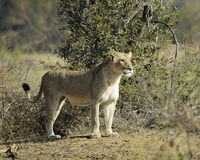 Lioness. A  solitary lioness about to start her hunt Stock Photo
