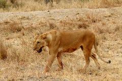 Lioness som är blodig med att skumma för mun Arkivfoton