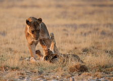 Lioness som leker med gröngölingen Arkivbild