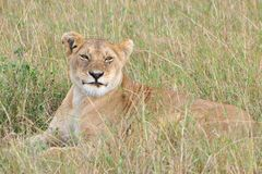 Lioness som ligger i gräs Arkivbilder