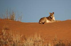 Lioness som ligger på den röda dynen Royaltyfria Foton