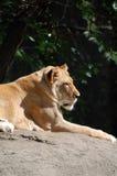 Lioness som ligger på rock Royaltyfri Foto