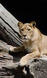 Lioness som ser in mot tittaren Royaltyfri Fotografi