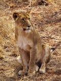 lioness som sitter upp Arkivbild
