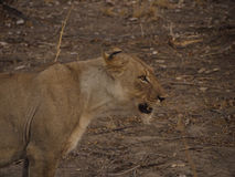 Lioness. In South Luangwa National Park in Zambia stock photo
