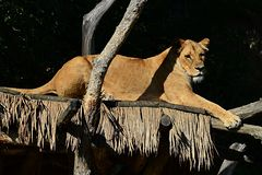 Lioness of Southwest African lion Panthera leo melanochaita relaxing on wooden shed in ZOO exposition of african predators. During summer season Royalty Free Stock Photo