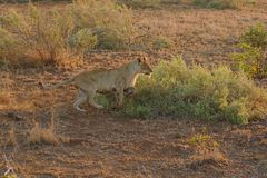 Lioness sprinting in Kruger National Park, South Africa. royalty free stock photos