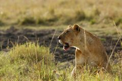 Lioness with stain of blood on mouth. Lion is one of the four big cats and belongs to genus Panthera Stock Photo